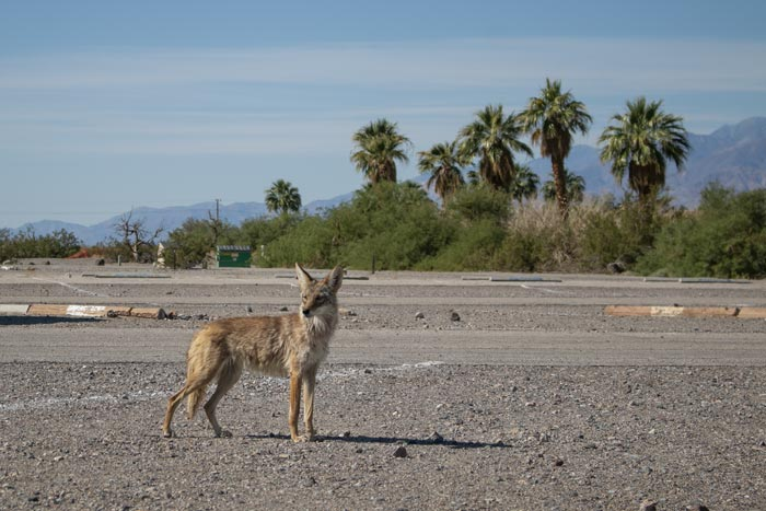 A coyote standing in a campground in Death Valley in eastern California