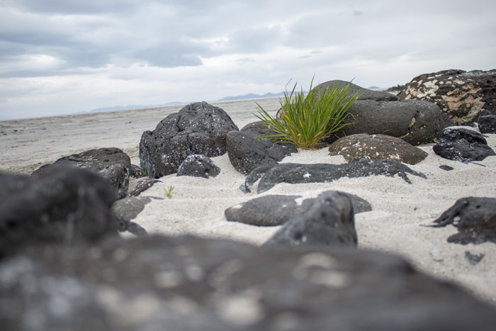 A plant and stones in the Spiral Jetty in northern Utah